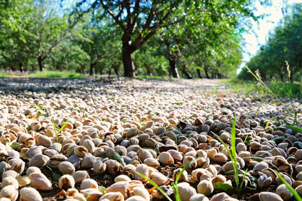 Late maturing Fritz almonds drying on the orchard floor