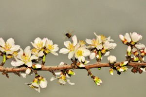 The Sonora variety almond bloom is advancing.