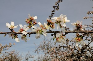 Almond blossom for the Sonora variety.