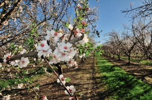 The rising bloom of the Padre variety almond.