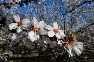 Shown here is the  Nonpareil variety almond in full bloom.