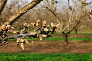Pink tip stage of an Aldrich variety almond tree in Escalon, California.