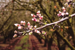Nonpareil and California type almond varieties are progressing through the green tip stage, with advanced plantings showing a significant proportion of their buds in the pink stage.