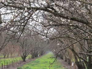 First bloom of Sonora variety  almonds in Butte County.