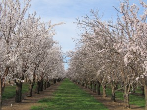 View down-the-row of the Aldrich and Price variety of almond trees in the Durham area of Butte County, California.