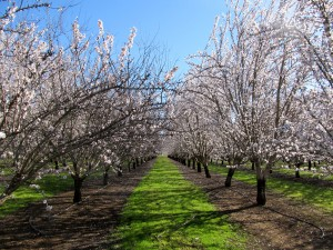 The almond bloom of the Carmel and Aldrich varieties in the Durham area of Butte County, California.