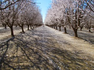 The Nonpareil and Aldrich almond varieties in the Durham area of Butte County, California.