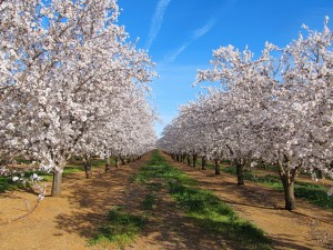 Butte and Padre almond trees in full bloom in the Durham area of Butte County, California