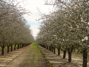 Nonpareil and Sonora variety almond trees coming into bloom  in the Woodland area of Yolo County, California.