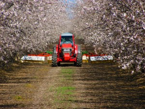 An almond grower controlling the weed growth within the orchard in the Chowchilla area of Madera County, California.