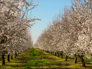 Butte and Padre almond trees in the Madera area of Madera County, California.