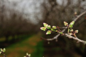 The early pink tip of the Nonpareil and Carmel almond varieties.