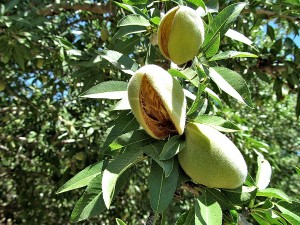 Splitting hulls of the Nonpareil variety almond tree
