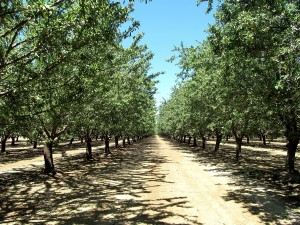Almond orchard ready for harvest.