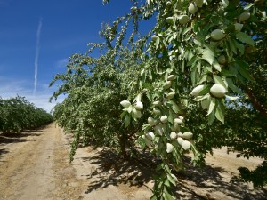 An almond orchard west of Madera under increasing water stress .
