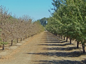 This image of an orchard in the San Joaquin Delta where the saline water drawn from the San Joaquin River has started to burn the leaves on the Monterey variety. Note that the adjoining Nonpareil variety is not showing adverse symptoms.