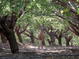 "A ""local native"" passing though an orchard in the Maxwell area of Colusa County."