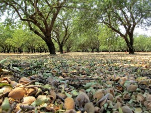 Nonpareil almonds recently shaken from the trees.