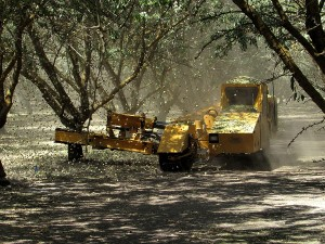 A shaker removes almonds from a tree in Central California.