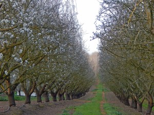 The Sonora almond variety in the early bloom stages of the 2016 California almond crop.