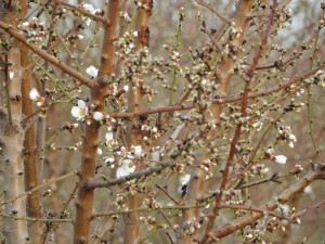 Almond trees beginning to bloom in San Joaquin County.