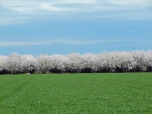 The almond bloom is progressing in Ripon, California.