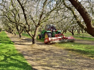 An almond grower mowing the grasses in his orchard in the Salida area