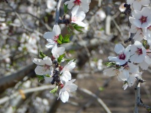The almond bloom is well under way in Central California.