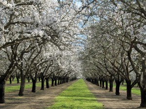 An almond orchard featuring Nonpareil and Butte varieties in the Durham area of Butte County