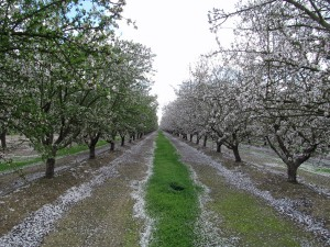 Petals begin to fall from almond trees on eastern side of Colusa County.