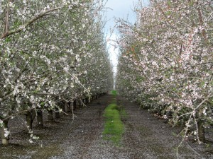 Bloom and petal fall stage in a Nonpareil and Fritz orchard in the Williams area of Colusa County.