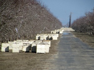 Bee hives placed in an orchard in Wasco, California for the 2016 California almond bloom.