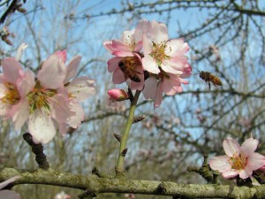 Bees working to pollinate open flowers in the Avalon variety almond trees.