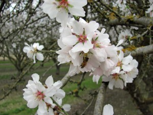 Nonpareil variety almond trees currently blooming.