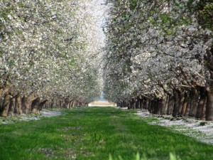 Down-the-row shot of a Nonpareil and Monterey orchard.