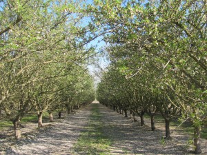 Down-the-row shot of a Nonpareil and Carmel orchard
