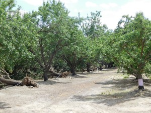 Orchard damaged by strong winds in Tulare County