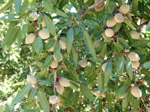 Developing Butte nuts in the Modesto area of Stanislaus County