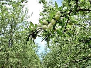 Developing Nonpareil nuts in the Durham area of Butte County