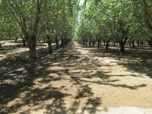 An orchard receiving its final pre-harvest irrigation