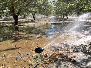 An orchard receiving its critical post-harvest irrigation,