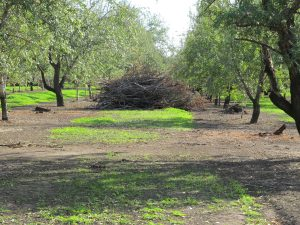 Individual trees being removed in an orchard in Butte County