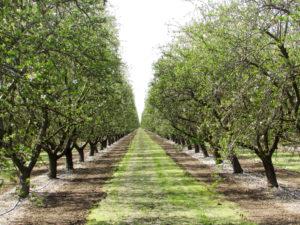 Nonpareil and Monterey - Kern County