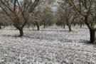 Heavy petal fall - Stanislaus County