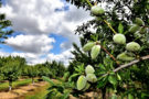 Monterey Nuts Under Cloudy Skies - San Joaquin County
